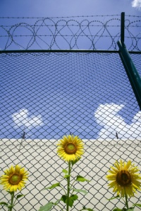 sunflowers grow in the prison in front of the barbed wire