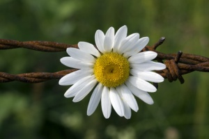 Chamomile on barbed wire